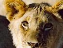 lioness130