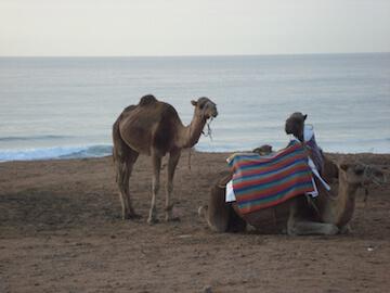 John B camels