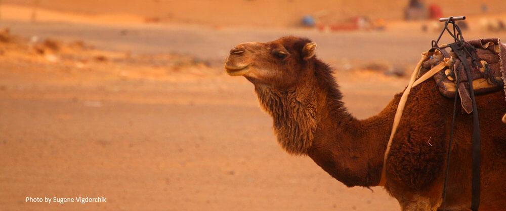 camel-in-desert-standard