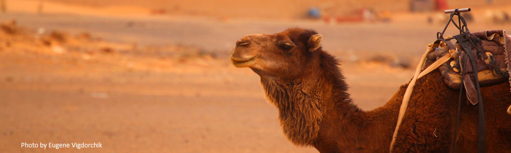 camel-in-desert-thin